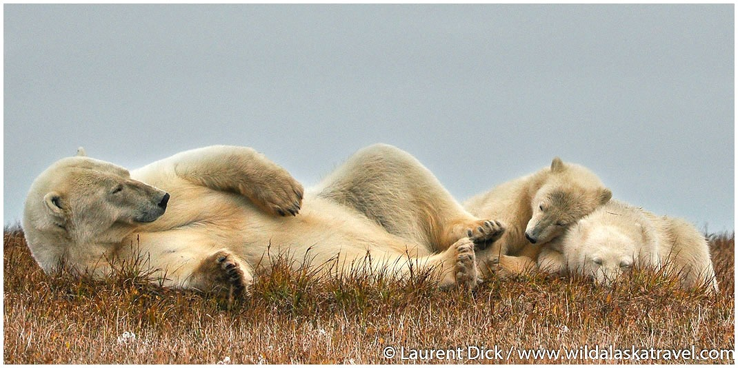 #1 Alaska Polar Bear Tours