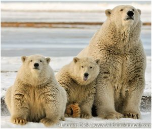 Alaska Polar Bear Viewing
