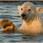 00-Alaska-Polar-Bear-Cub-Photo-c-Laurent-Dick-Wild-Alaska-Travel