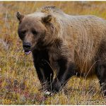 Alaska Bear Viewing Tour with Wild Alaska Travel