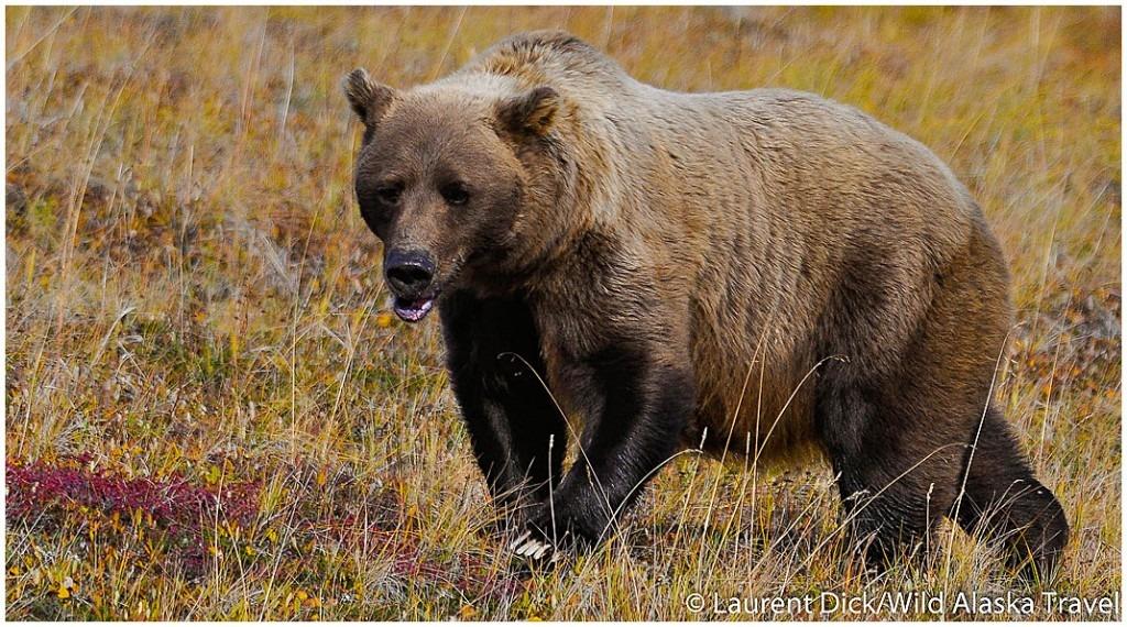 Alaska Polar Bear & Aurora Borealis Tour with Denali Add-on with Wild Alaska Travel