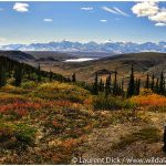 08-Denali-National-Park-Fall-Colors-Tour-Photo-c-Laurent-Dick-Wild-Alaska-Travel