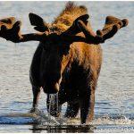 10-Bull-Moose-Denali-National-Park-Photo-c-Laurent-Dick-Wild-Alaska-Travel