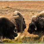 10-Muskoxen-Dalton-Highway-Photo-c-Laurent-Dick-Wild-Alaska-Travel