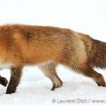 11-Red-Fox-Northern-Alaska-Photo-c-Laurent-Dick-Wild-Alaska-Travel