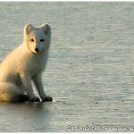 12-Arctic-Fox-Photo-c-Laurent-Dick-Wild-Alaska-Travel
