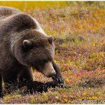 12-Grizzly-Bear-Denali-National-Park-c-Laurent-Dick-Wild-Alaska-Travel