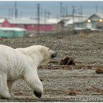 15-Alaska-Polar-Bears-In-Kaktovik-c-Laurent-Dick-Wild-Alaska-Travel