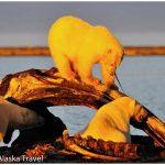 15-Alaska-Polar-Bears-at-Bonepile-c-Laurent-Dick-Wild-Alsaka-Travel