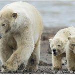 16-Alaska-Polar-Bear-Sow-With-Cubs-Photo-c-Laurent-Dick-Wild-Alaska-Travel