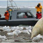 17-Alaska-Polar-Bear-viewing-and-photo-Tour-with-Wild-Alaska-Travel
