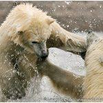 18-Alaska-Polar-Bear-Cubs-Playing-Photo-c-Laurent-Dick