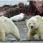 18-Alaska-Polar-Bear-Cubs-c-Laurent-Dick-Wild-Alaska-Travel