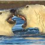 19-Polar-Bear-Excursion-Alaska-Photo-c-Laurent-Dick-Wild-Alaska-Travel