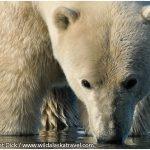 20-Alaska-Polar-Bear-Cub-Drinking-Photo-c-Laurent-Dick-Wild-Alaska-Travel