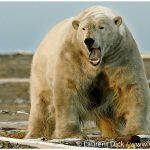 21-Alaska-Polar-Bear-Photo-c-Laurent-Dick-Wild-Alaska-Travel