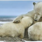 22-Alaska-Polar-Bear-Sow-Nursing-Cubs-Photo-c-Laurent-Dick-Wild-Alaska-Travel-2