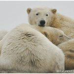 22-Alaska-Polar-Bear-Viewing-with-Wild-Alaska-Travel-c-Laurent-Dick-Wild-Alaska-Travel