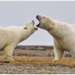 Alaska Polar Bear & Aurora Borealis Tour with Denali Add-on