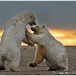 24-Alaska-Polar-Bears-Barter-Island-c-Laurent-Dick-Wild-Alaska-Travel