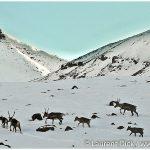 24-Brooks-Range-Caribou-Migration-Photo-c-Laurent-Dick-Wild-Alaska-Travel