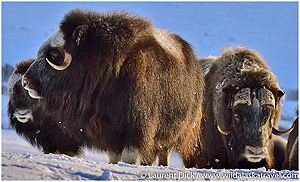 Day-2-Muskoxen-viewing-in-Nome-with-Wild-Alaska-Travel