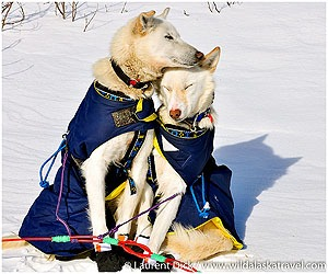 Day-9-Iditarod-Dogs-Photo-c-Laurent-Dick-Wild-Alaska-Travel