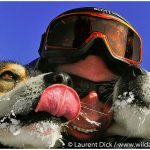 Iditarod-Finish-Tour-Dog-Mushing-with-Wild-Alaska-Travel-c-Laurent-Dick-Wild-Alaska-Travel