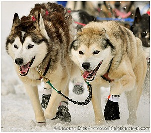 Included-Iditarod-Finish-Tour-Photo-c-Laurent-Dick-Wild-Alaska-Travel