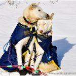 Linwood-Fiedler-Iditarod-Dogs-Photo-c-Laurent-Dick-Wild-Alaska-Travel