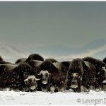 Muskoxen-Nome-c-Laurent-Dick-Wild-Alaska-Travel