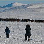 Muskoxen-Viewing-Wild-Alaska-Travel-Iditarod-Finish-Tour-c-Laurent-Dick