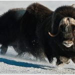 Muskoxen-in-Nome-Iditarod-Finish-Tour-c-Laurent-Dick-Wild-Alaska-Travel
