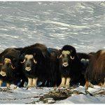 Muskoxen-nearNome-C-Laurent-Dick-Wild-Alaska-Travel