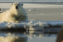 Alaska Polar Bear Tour