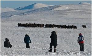 Wild-Alaska-Travel-Iditarod-Finish-Tour-Muskoxen-Viewing-c-Laurent-Dick-300x183